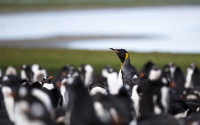 See the King penguins in the East Falklands