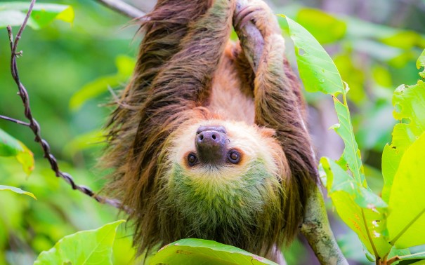 Sloth hanging in a tree, Bocas del Toro, Panama.