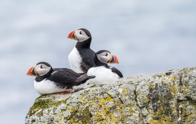 Three puffins on a cliff