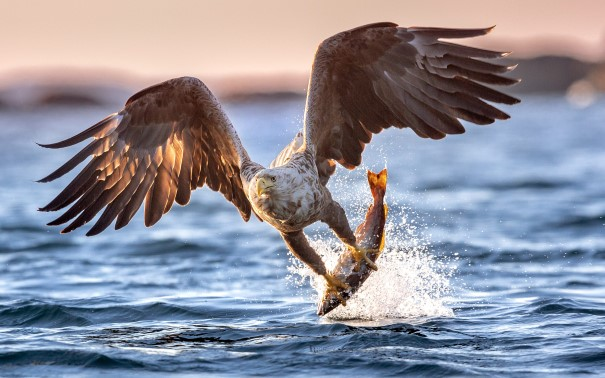Sea eagle catching a fish out of the water.