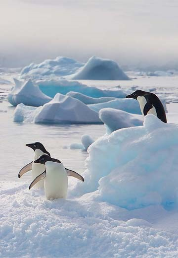 adelie-penguins_dominic-barrington.jpg
