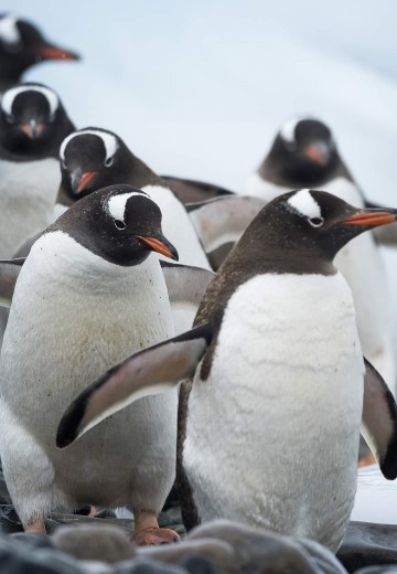 Penguins-Cuverville-Antarctica-Andreas-Kalvig-Anderson.JPG