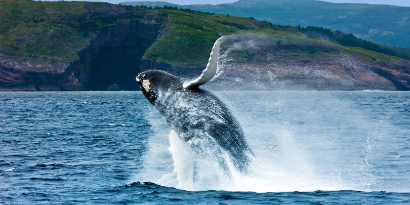 A whale breaching the surface in L'Anse aux Meadows