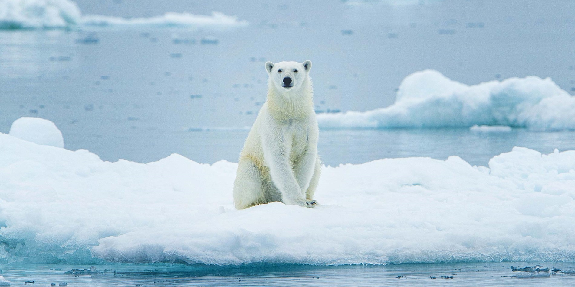 Majestic Polarbear on ice floe