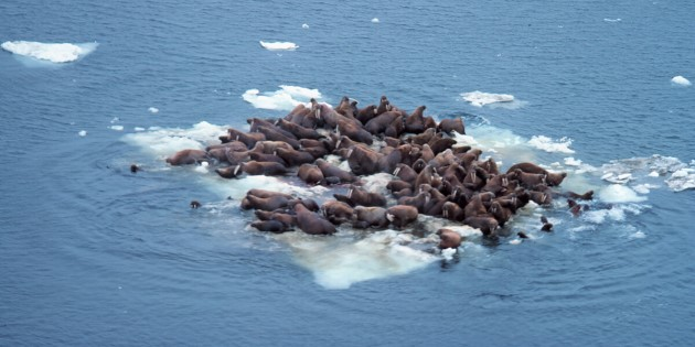 Day 3_Walrus Bering sea@ NOAA Photo Library 1200x600.jpg