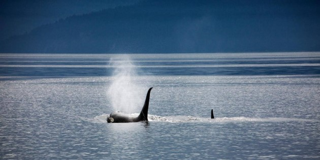 Day 9_Alaska_Killerwhale_@Christopher Michel.jpg